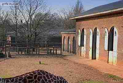 jirafa apareciendo