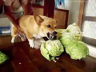 Perro mordiendo con furía un coliflor