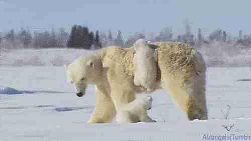 osos polares gif