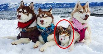 Conoce a Rosie: La Pequeñita Gatita que fue Criada por un Husky (FOTOS)
