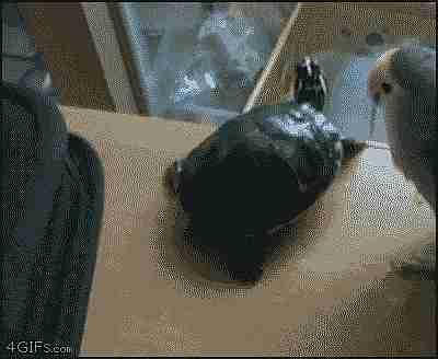 perico lanzando tortuga