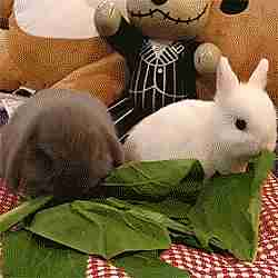 Conejos comiendo espinaca