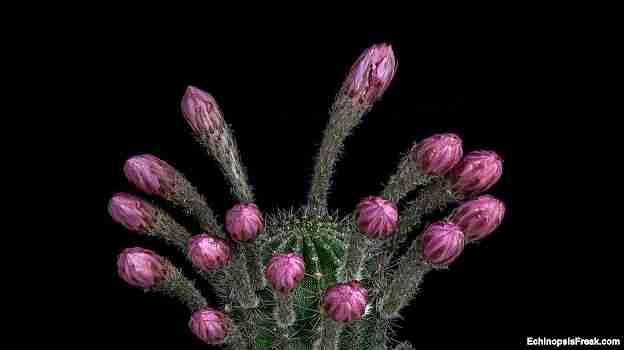 cactus floreciendo