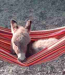 gif burro sobre una hamaca