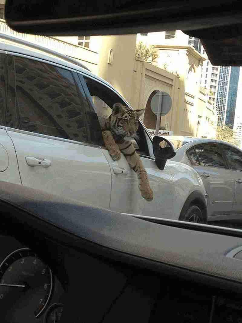 tigre en carro