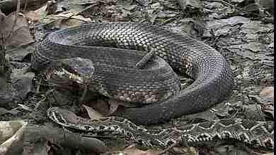 serpiente marrón Australiana