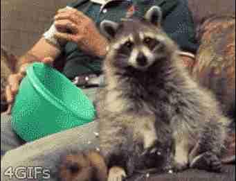 gif mapache comiendo