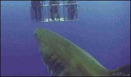 tiburón defecando